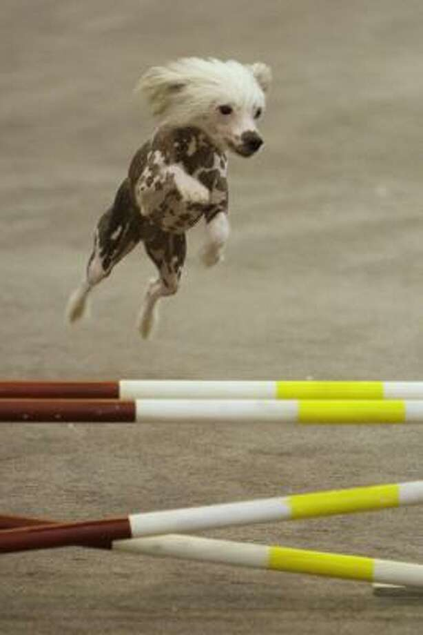 Passion, a Chinese crested owned by Annette Janis of Katy, competes in agility at the Reliant Park World Series of Dog Shows on Thursday. The dog show continues through Sunday. Photo: Melissa Phillip, Chronicle