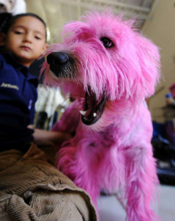 Vickie, a West Highland White Terrier, was dyed pink before the El Salvador Kennel show in San Salvador in 2008. Photo: JOSE CABEZAS, AFP/Getty Images