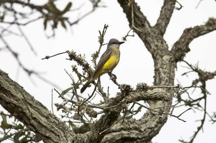 A pair of tropical kingbirds, usually seen in far South Texas down to South America, appear to be nesting near a grocery store in Rockport. Photo: Kathy Adams Clark