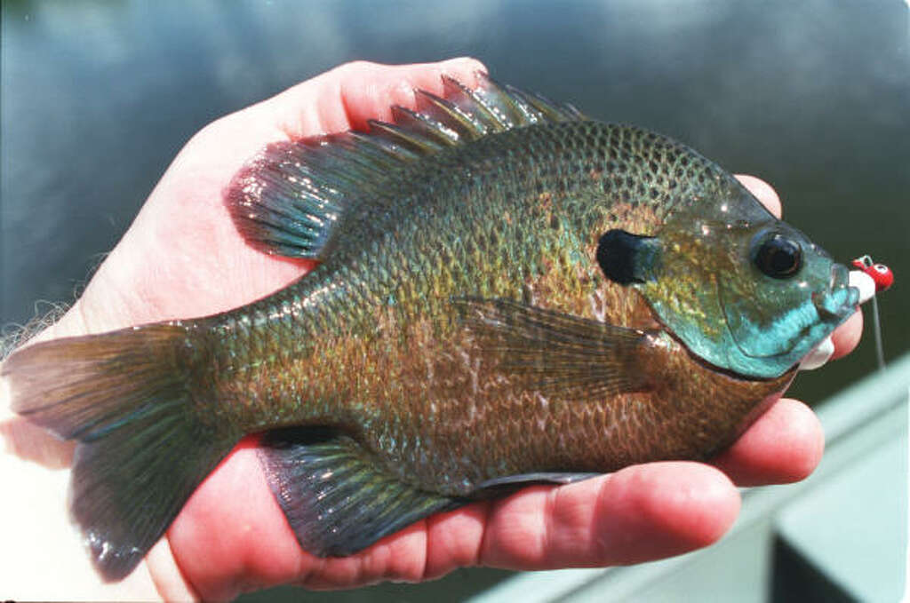 Related keywords suggestions for texas perch for Perch fish facts