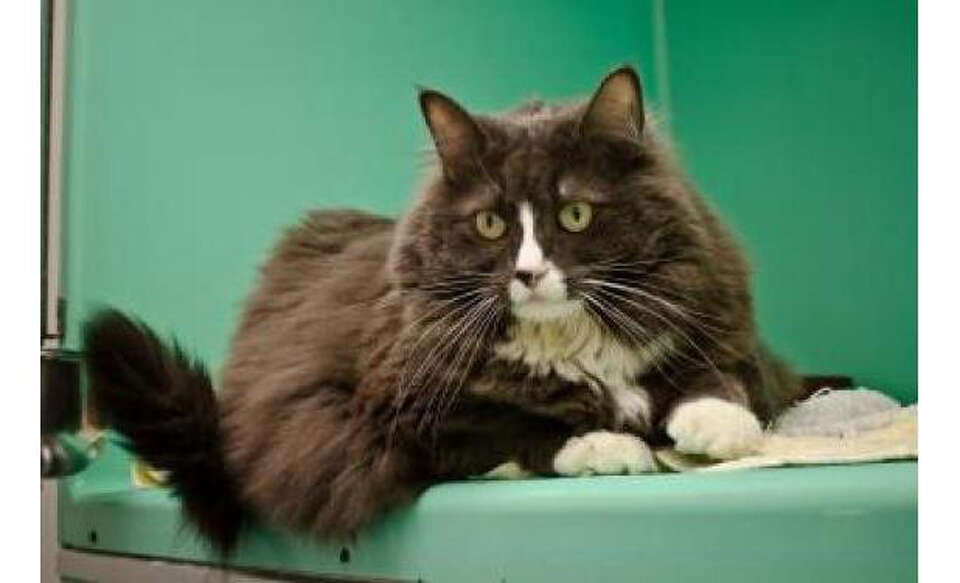 Name: Kitty, Breed: Domestic Longhair/Mix, Sex: Female, Size: Small, Age: 2 years, 1 month, Adoption