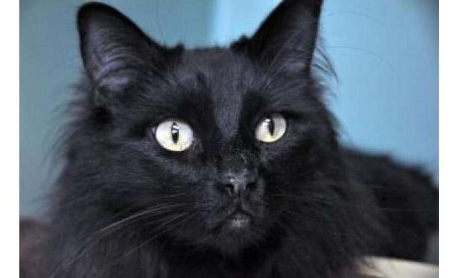 Name: Wispy, Breed: Domestic Longhair/Mix, Sex: Female, Size: Small, Age: 3 years, 2 months, Adoption Status: Available, Website: http://www.seattlehumane.org Photo: Seattle Humane Society