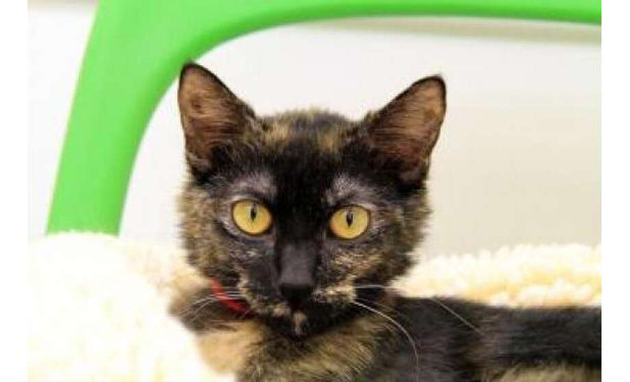 Name: Mona, Breed: Domestic Shorthair/Mix, Sex: Female, Size: Small, Age: 3 years, 2 months, Adoption Status: Available, Website: http://www.seattlehumane.org Photo: Seattle Humane Society