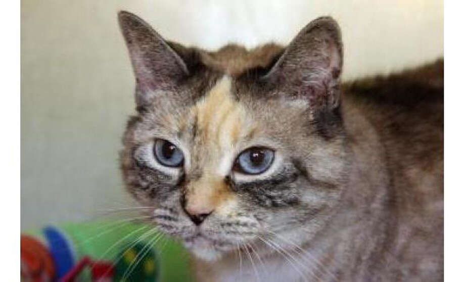 Name: Sarah, Breed: Domestic Shorthair/Mix, Sex: Female, Size: Small, Age: 6 years, 3 months, Adoption Status: Available, Website: http://www.seattlehumane.org Photo: Seattle Humane Society