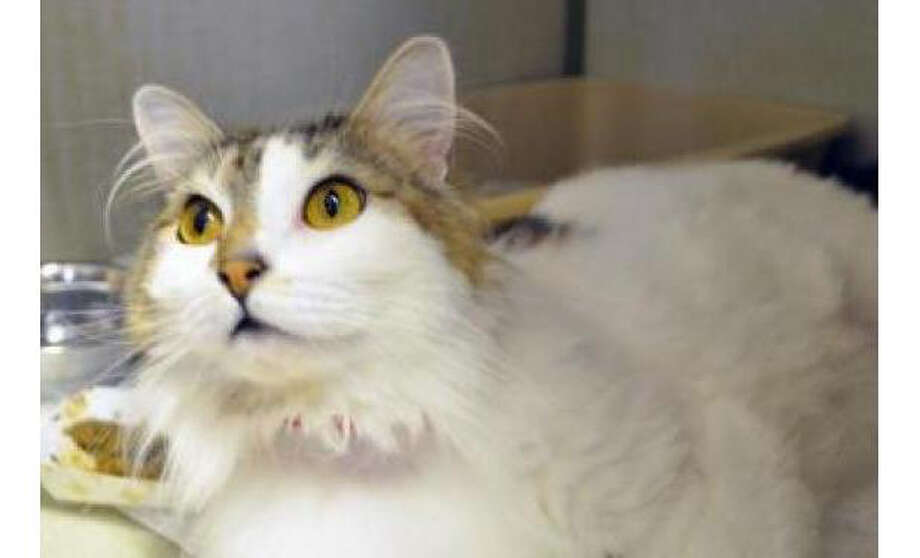 Name: Sylvester, Breed: Domestic Longhair/Mix, Sex: Female, Size: Small, Age: 7 years, 1 month, Adoption Status: Available, Website: http://www.seattlehumane.org Photo: Seattle Humane Society
