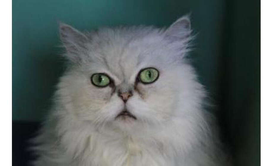 Name: Brooklyn, Breed: Persian/Mix, Sex: Female, Size: Small, Age: 7 years, 7 months, Adoption Status: Available, Website: http://www.seattlehumane.org Photo: Seattle Humane Society