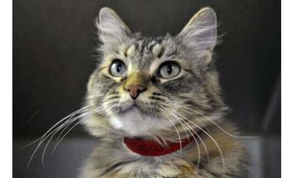 Name: Delilah, Breed: Domestic Longhair/Mix, Sex: Female, Size: Medium, Age: 8 years, 4 months, Adop
