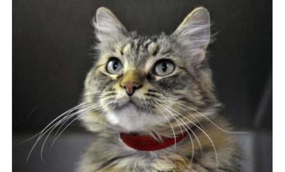 Name: Delilah, Breed: Domestic Longhair/Mix, Sex: Female, Size: Medium, Age: 8 years, 4 months, Adoption Status: Available, Website:  http://www.seattlehumane.org Photo: Seattle Humane Society