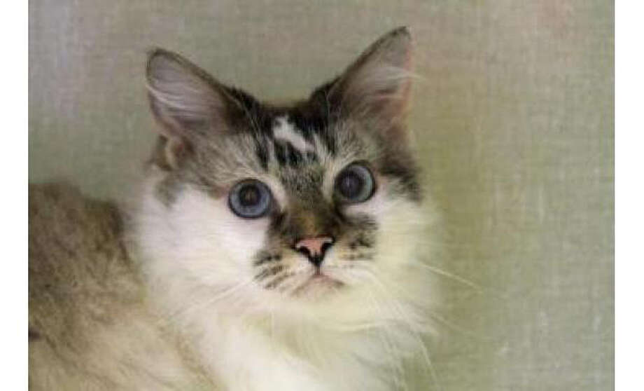 Name: Luna, Breed: Ragdoll / Mix, Sex: Female, Size: Small, Age: 9 years, 8 months, Adoption Status: Available, Website: http://www.seattlehumane.org Photo: Seattle Humane Society