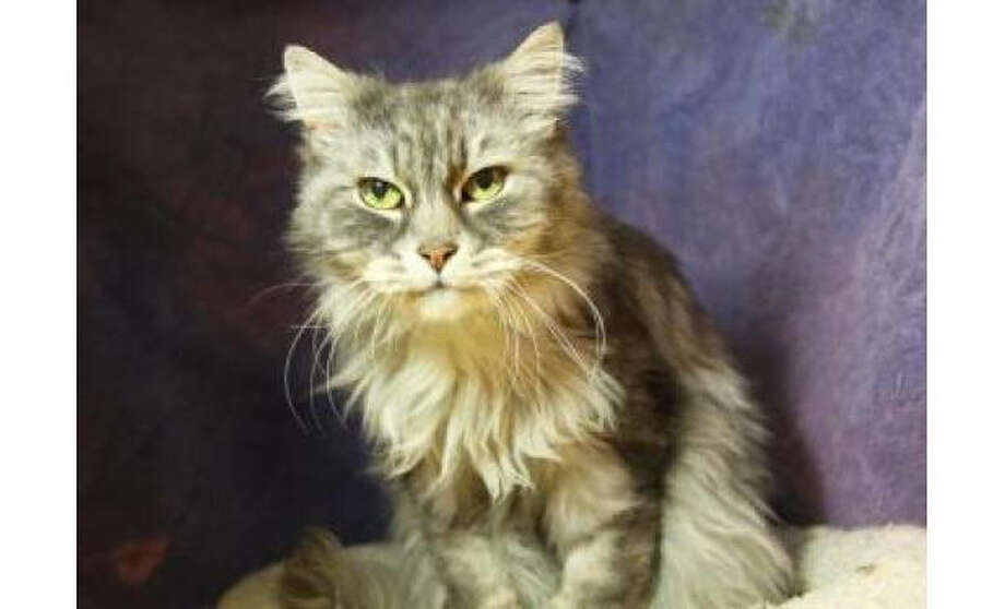 Name: Lily, Breed: Domestic Longhair/Mix, Sex: Female, Size: Medium, Age: 12 years, 8 months, Adoption Status: Available, Website: http://www.seattlehumane.org Photo: Seattle Humane Society