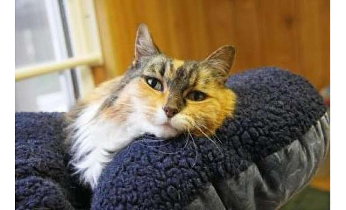 Name: Bella, Breed: Domestic Longhair/Mix, Sex: Female, Size: Medium, Age: 10 years, 6 months, Adoption Status: Available, Website: http://www.seattlehumane.org