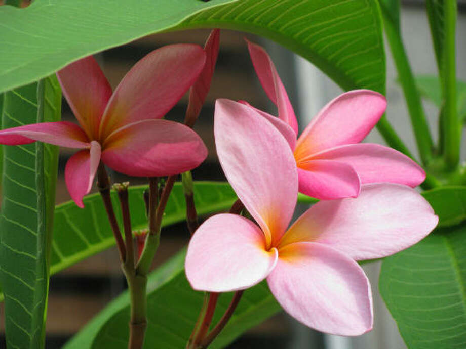 Pink plumeria blooms seek shade from the hot June Texas sun. Photo: Naturalist, Chron.commons
