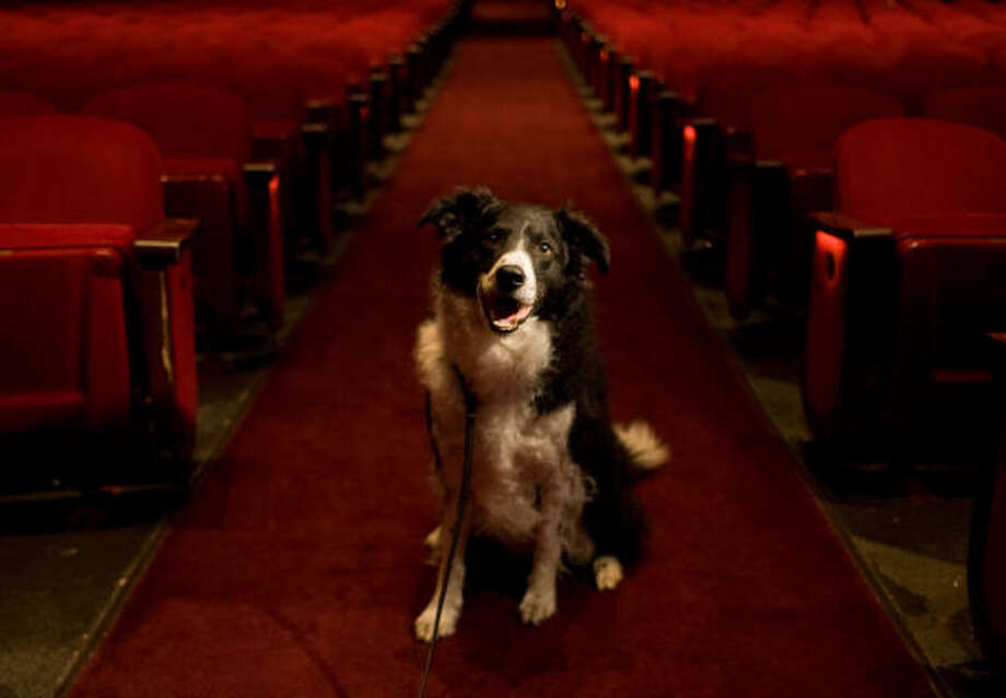 Buddy the barking border collie poses in the Wortham Center. Photo: Sharon Steinmann, Chronicle