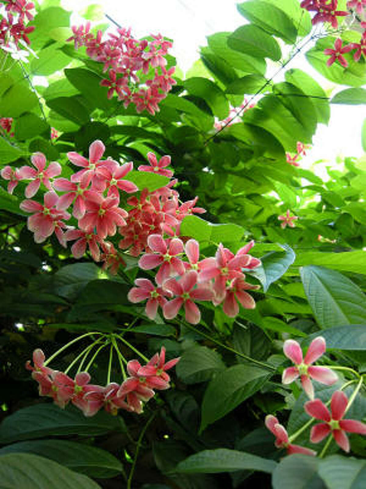 Rangoon creeper vines love the heat. The flowers change colors as they age, and they're quite fragrant.