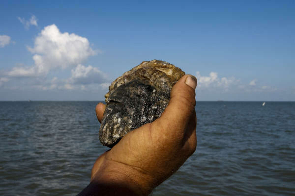 Runt Nelson, of Jeri's Seafood holds an oyster from a reef in Galveston's East Bay last week in Smith Point. The oyster is crucial to the bay system, acting as a filter by removing and disposing of impurities and releasing clean, clear saltwater.