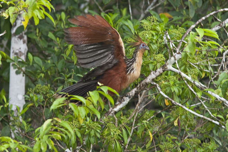 The hoatzin of Ecuador is one of the strangest birds around. Photo: Kathy Adams Clark