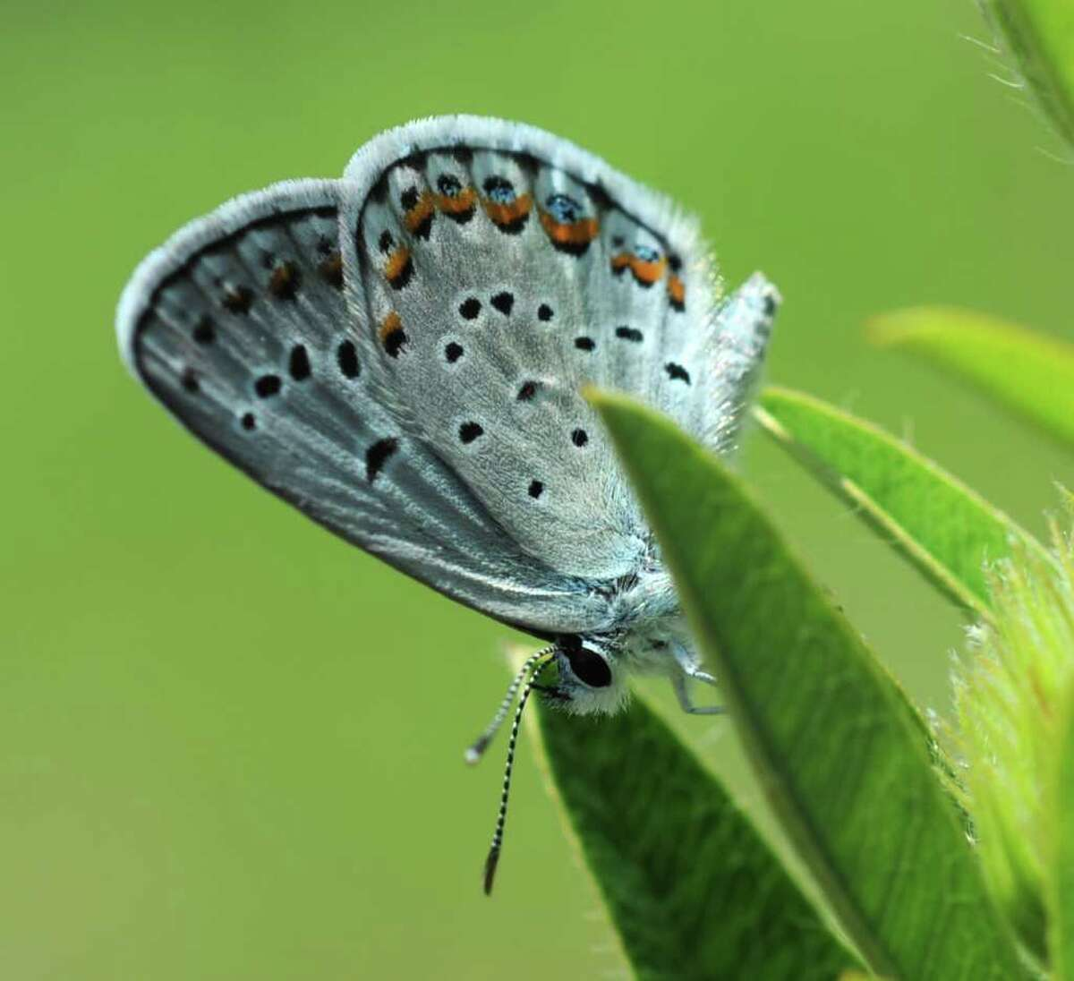 Detail of a Karner blue butterfly Tuesday July 26, 2011, in the Pine Bush Preserve in Albany, N.Y. (Will Waldron /Times Union)
