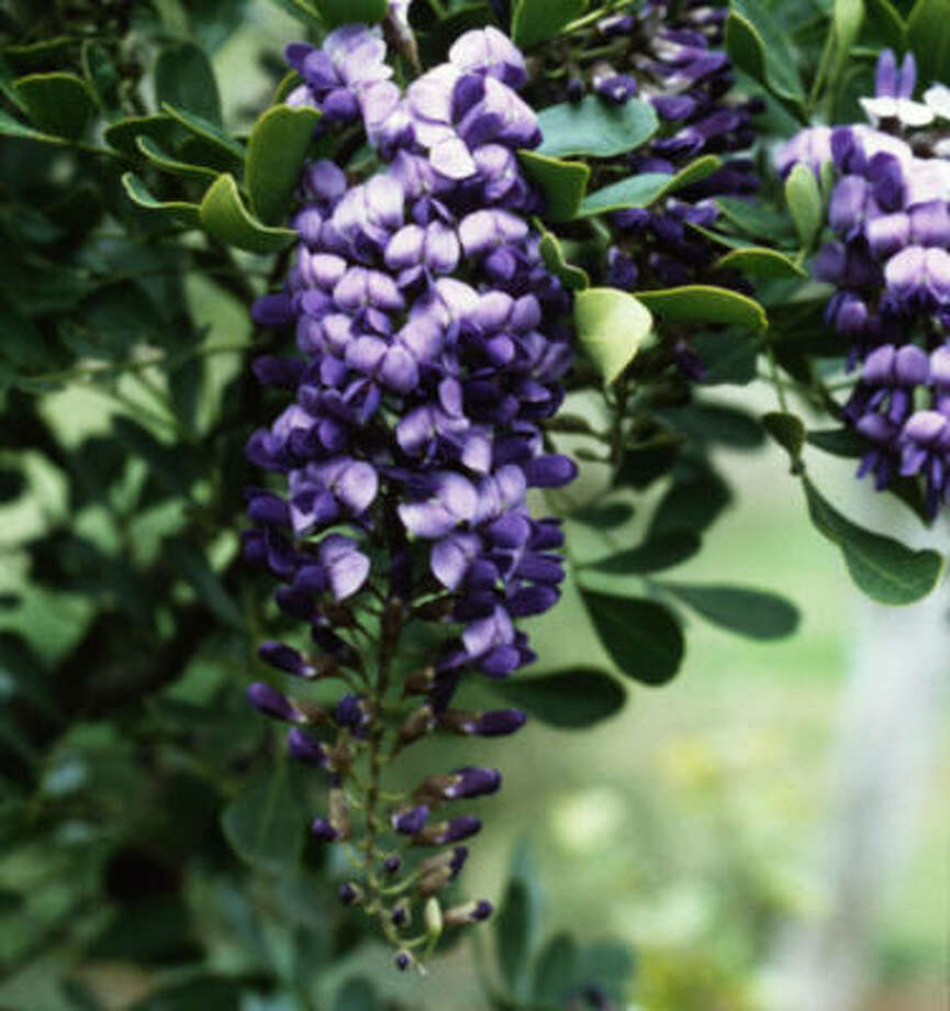 Texas mountain laurel Photo: Treesearch Farms
