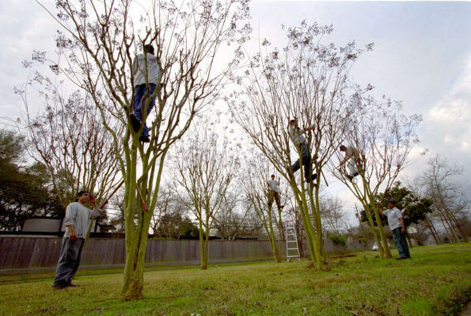"""HouScapes Inc. workers trim crape myrtles on their """"adopted"""" block on West Bellfort in February 2003. Photo: Kevin Fujii, Chronicle"""