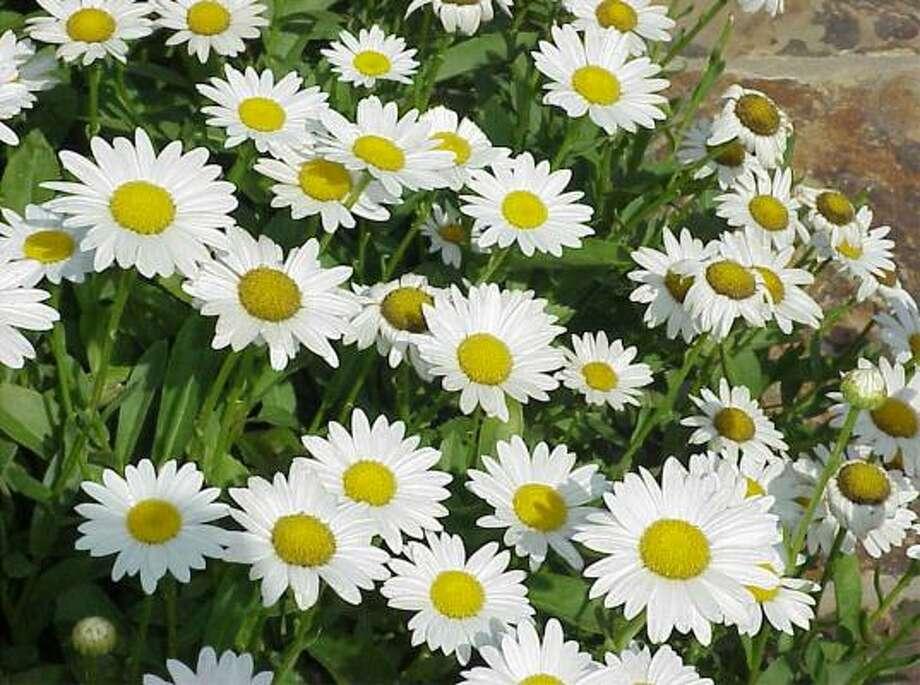 Shasta daisies Photo: KRT