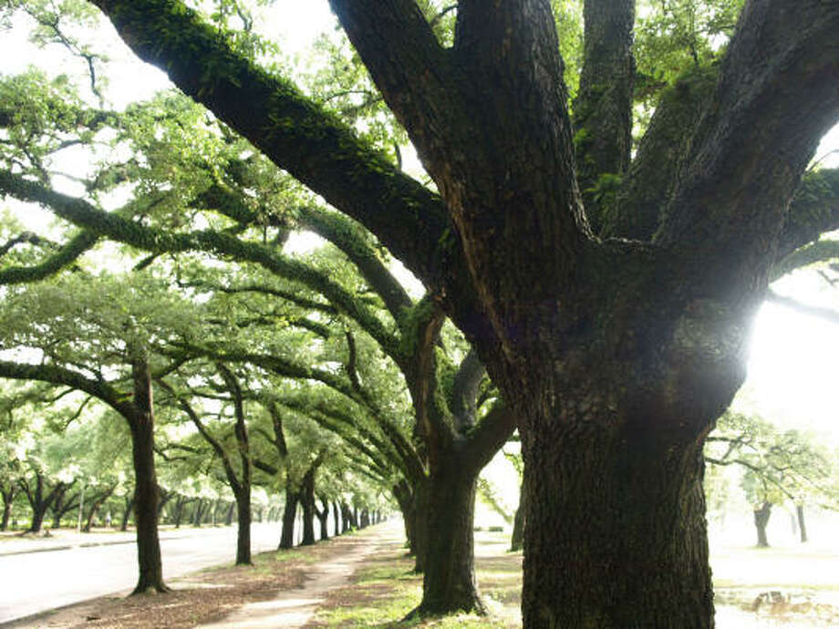 Live oaks on Main Street in Houston Photo: Eli Reed, Magnum Photos