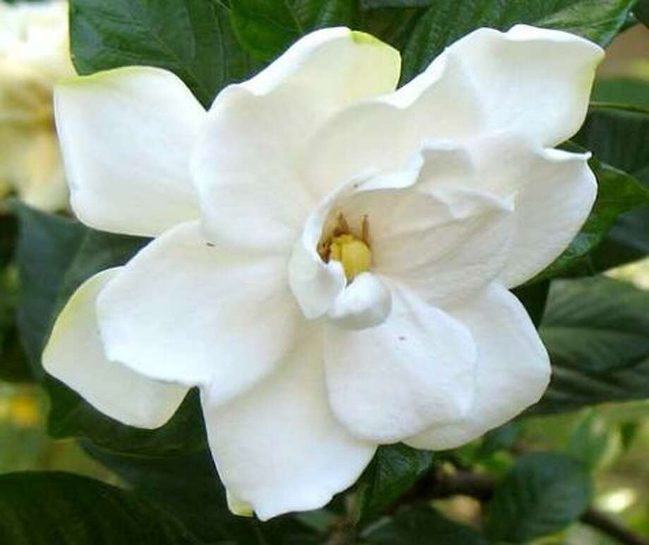 Gardenia Photo: NatalieMaynor, Flickr.com