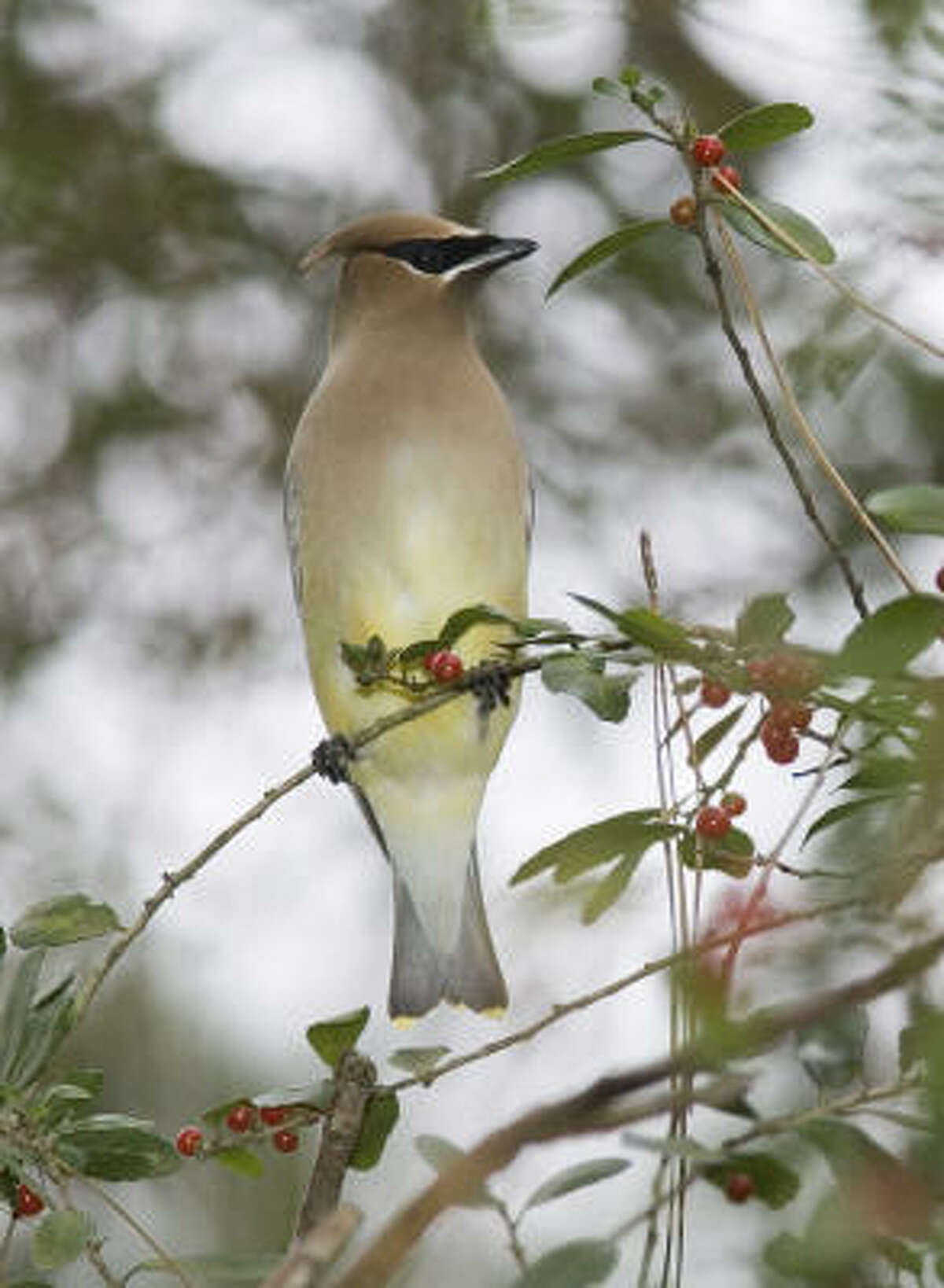 Cedar waxwings grace us with their presence in the winter and feed on our berries.