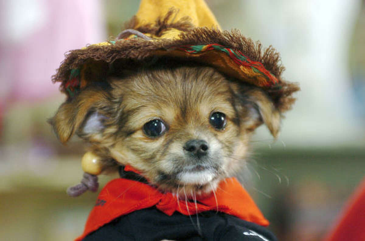 A long-haired chihuahua puppy takes Halloween costume shopping in stride.