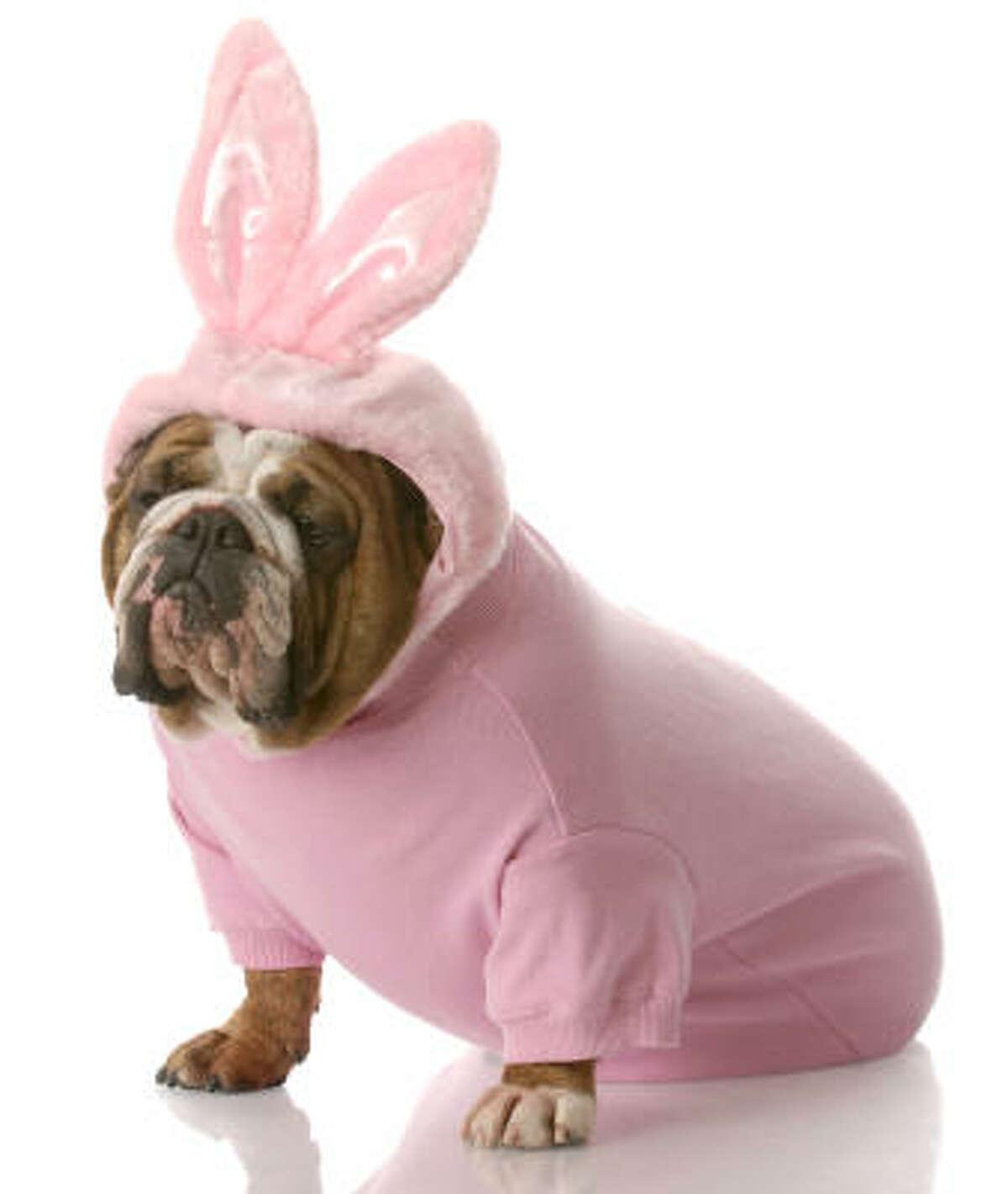 An English bulldog sports a pink bunny costume for Halloween.