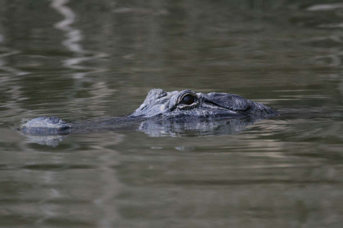 """Annual aerial surveys of alligator nests and nighttime """"spotlight"""" counts during June and July will give wildlife managers an idea of how the quarter-million alligators in southeast Texas survived the ravages of Hurricane Ike."""