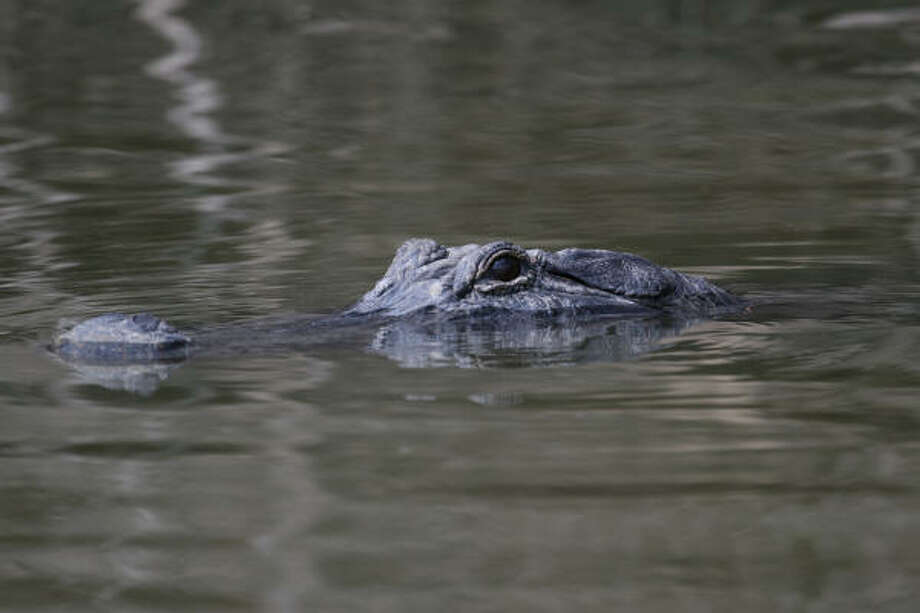 """Annual aerial surveys of alligator nests and nighttime """"spotlight"""" counts during June and July will give wildlife managers an idea of how the quarter-million alligators in southeast Texas survived the ravages of Hurricane Ike. Photo: Shannon Tompkins"""