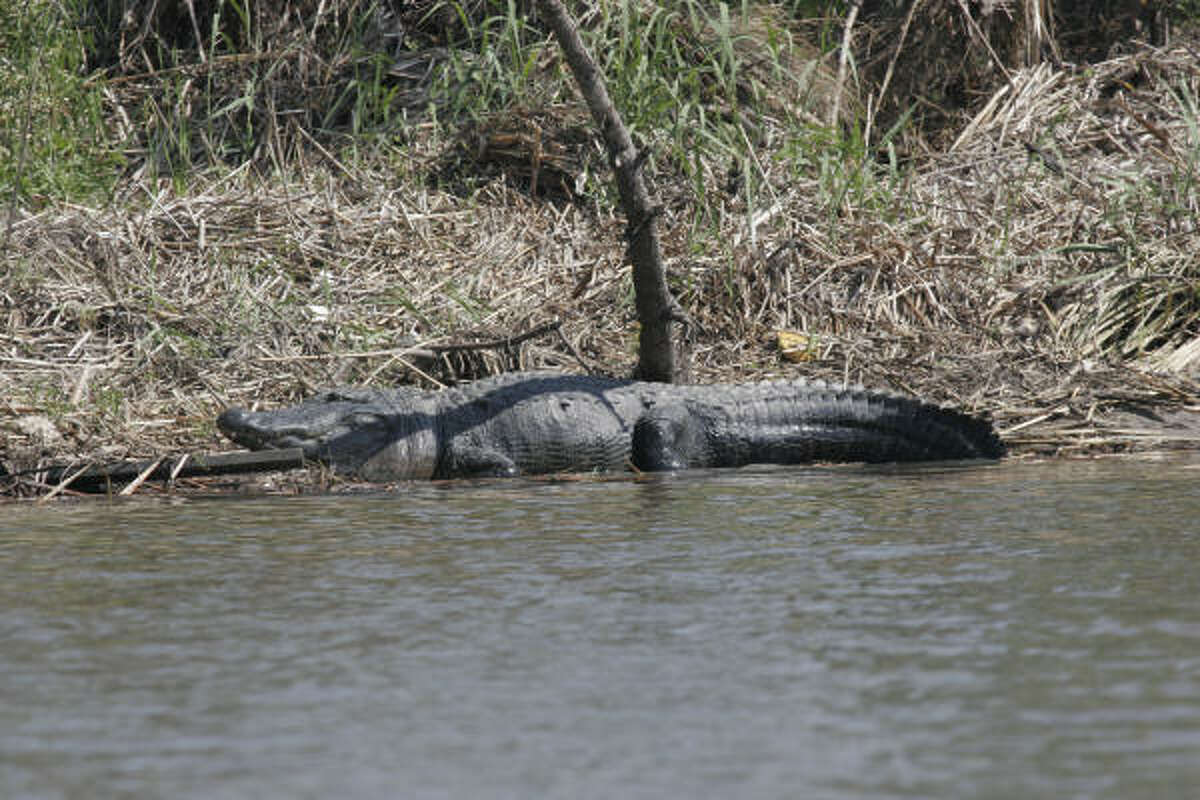 This large alligator was one of hundreds that relocated into the lower Trinity River following Hurricane Ike. The river, lined with debris from the storm, offered crucial freshwater not available in saltwater-inundated marshes.