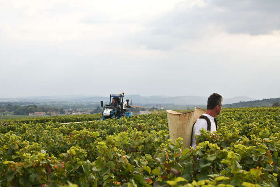 A grape-picker pauses in a field in Volnay, France, during a wine harvest. Photo: DARCIE GOODWIN