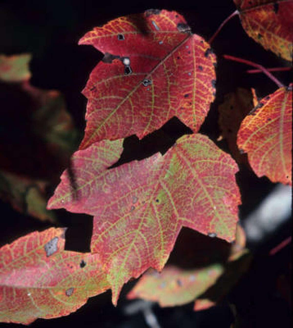 Drummond red maple (acer rubrum var. drummondii)