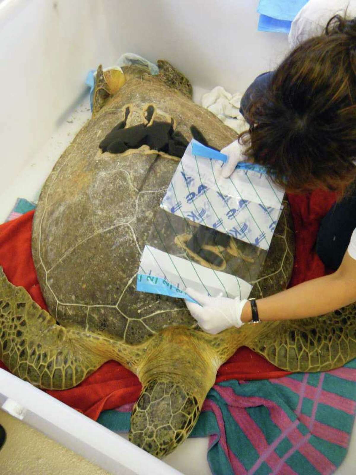 Medical teams from San Antonio-based Kinetic Concepts Inc., Martin Memorial Hospital and the Loggerhead Marinelife Center collaborate to determine the best way to apply a bandage to Andre the turtle.