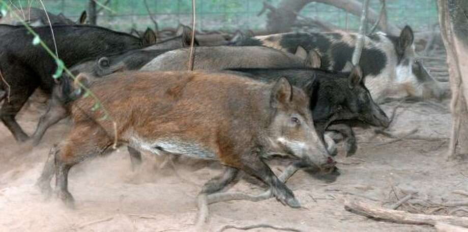 Feral hogs, like these seen north of Marshall in 2002, are often blamed for destroying farmland across East Texas. Photo: TIM ZIELENBACH, MARSHALL NEWS MESSENGER FILE