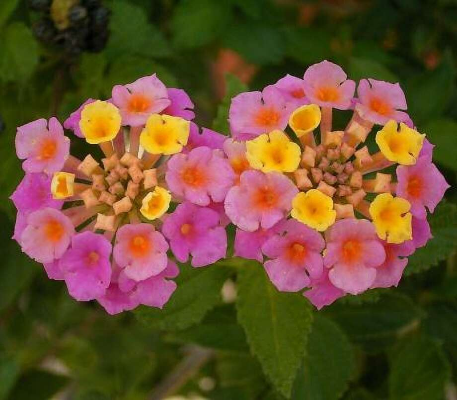 Lantana Camara