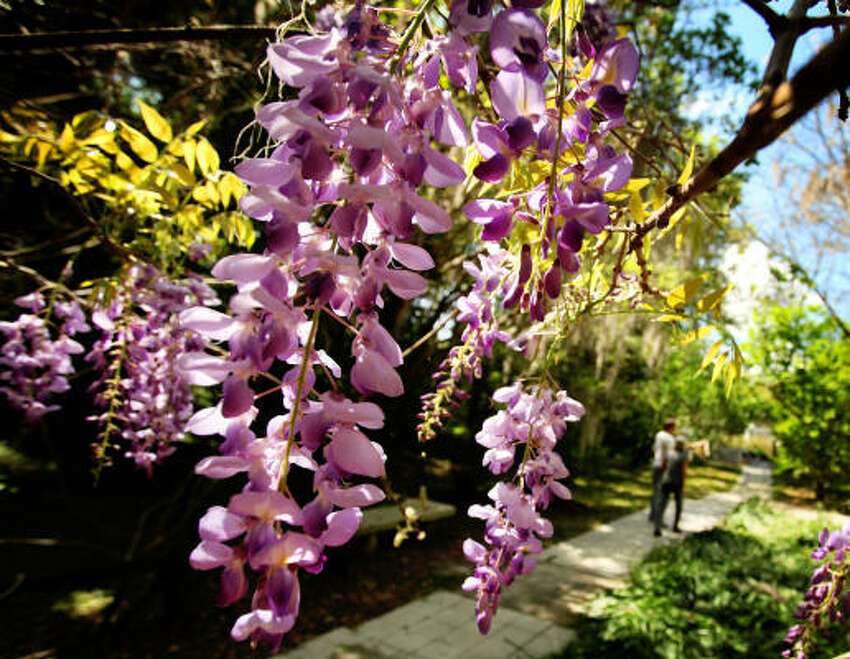 Wisteria Consumption of the seeds and pods can cause digestive problems.
