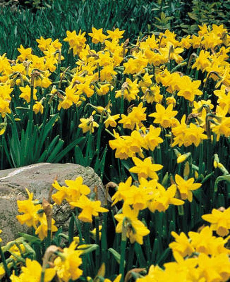 DaffodilsConsumption of the bulbs can cause nausea, vomiting, diarrhea. Photo: AP