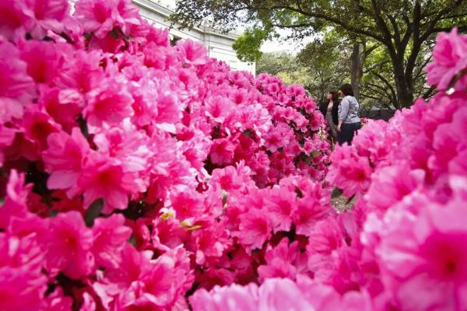 Azaleas