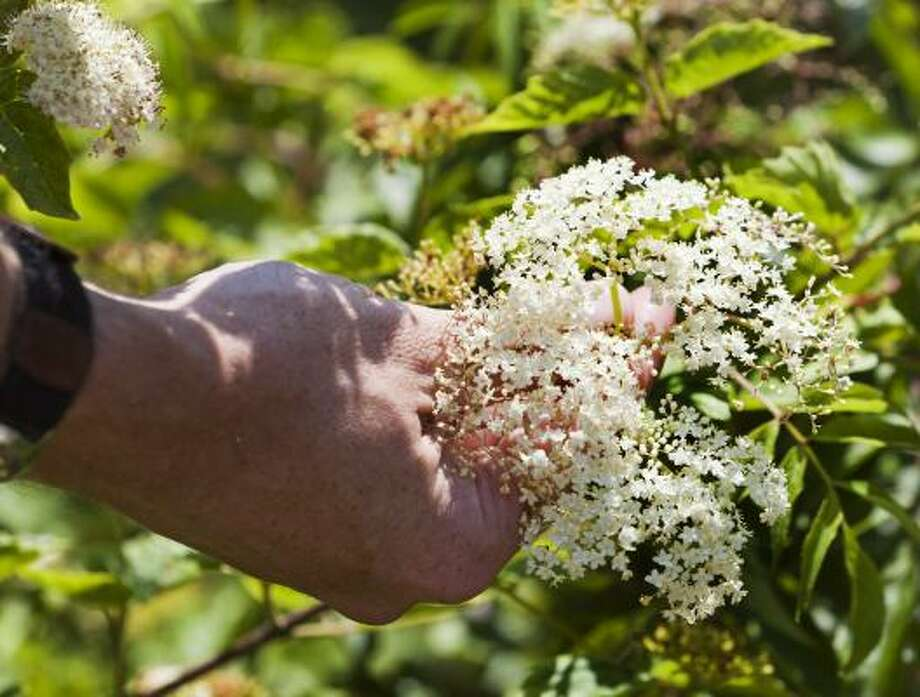 ElderberryConsumption of any part can cause nausea and digestive upset, especially the roots. Photo: Craig Hartley, For The Chronicle