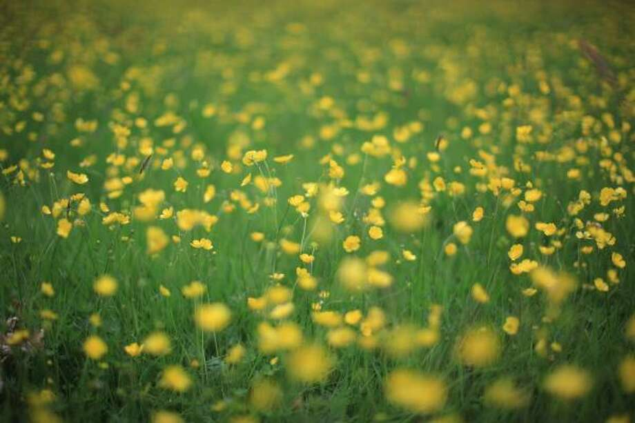 Buttercups