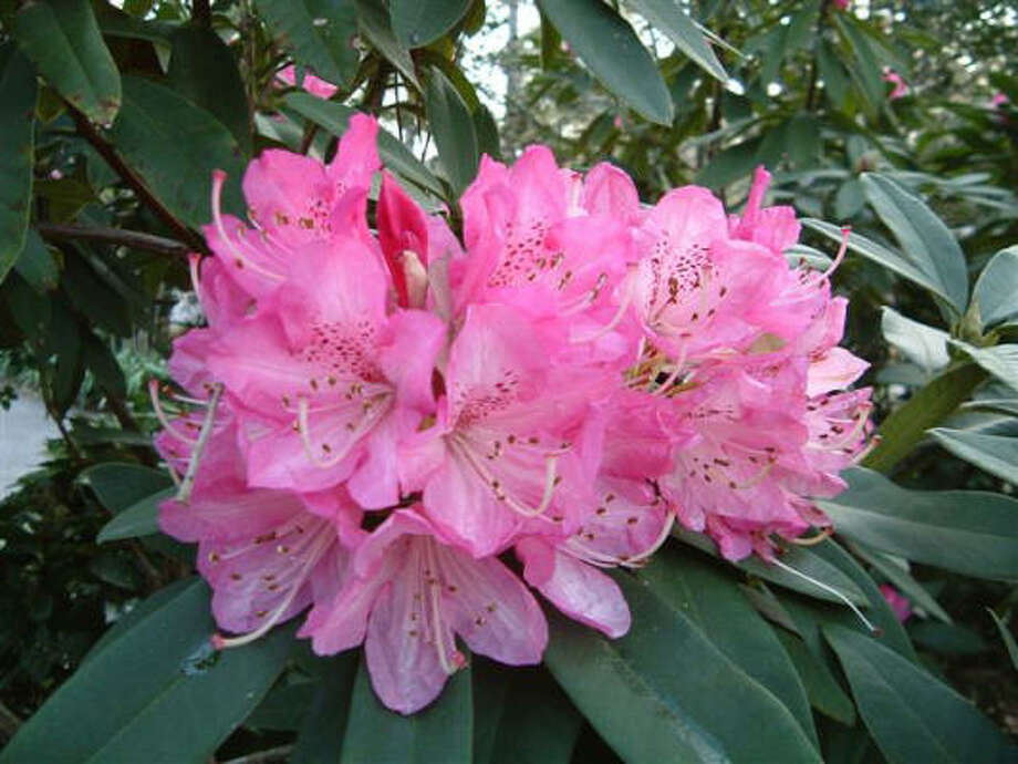 RhododendronConsumption of any part can cause nausea, vomiting, prostration, depression, coma. Photo: AP