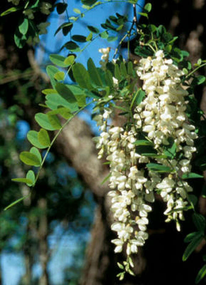 Black Locust