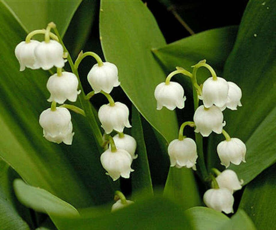 Lily-of-the-ValleyConsumption of the leaves and flowers can cause irregular heart beat, digestive problems and mental confusion. Photo: AP
