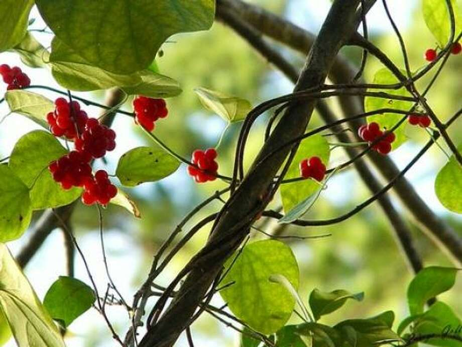 MoonseedConsumption of the berries can be fatal. Photo: AP