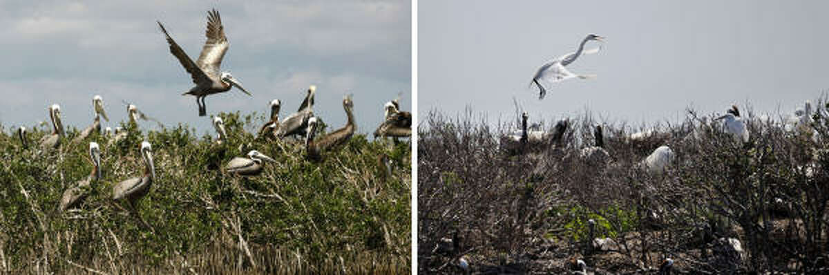 In this two picture combo, a pelican is seen landing on a nest in a thicket of mangrove, May 22, 2010, on Cat Island, home to hundreds of brown pelican nests as well at terns, gulls and roseate spoonbills, as it was being impacted by oil from the Deepwater Horizon Oil Spill, just inside the the coast of Louisiana.The second photo, taken in the same spot on April 13, 2011, shows an egret landing on a nest where the mangrove has thinned out. Biologists from the Louisiana Department of Fish and Wildlife say Cat island is significantly eroded, with much of the mangrove dead or dying, reducing the amount of space for nesting, because the island was completely overwashed by the oil, and poorly maintained oil booms contributed to the damage as well.