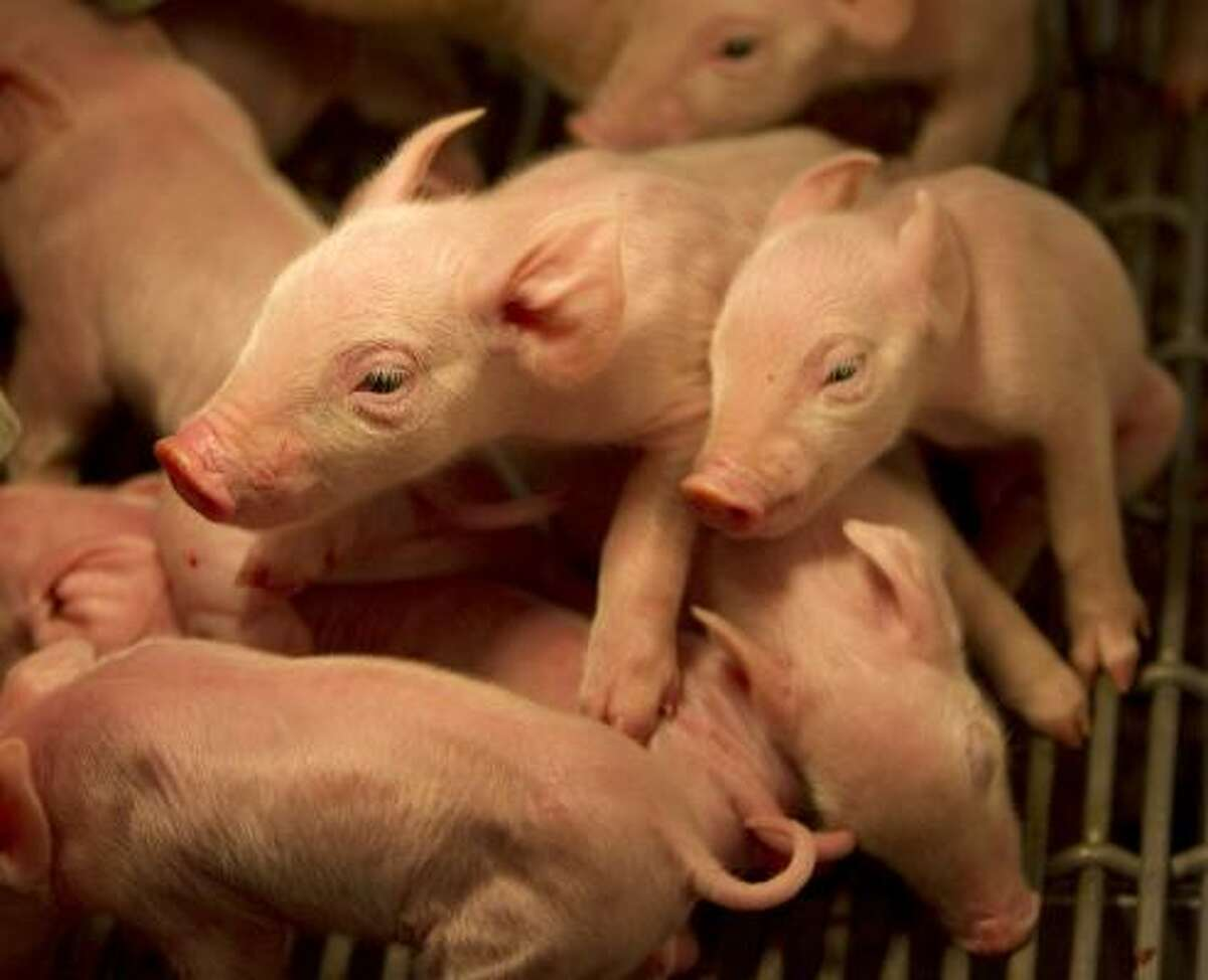 Eight piglets, five girls and three boys born to Dora the pig, scramble to nurse at the AgVenture birthing center.