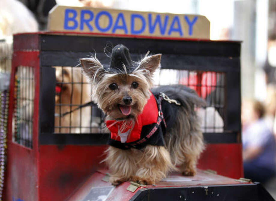 A Krewe of Barkus Mardi Gras parade entrant gets a special ride in New Orleans. Photo: Gerald Herbert, AP