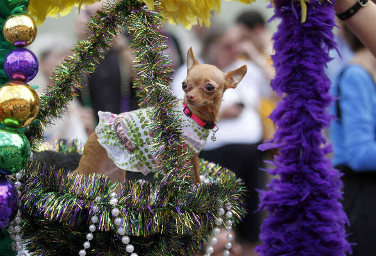 A Chihuahua rides in a hanging basket on a float during the Krewe of Barkus Mardi Gras parade in New Orleans.